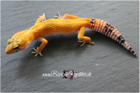 0.1 Super Hypo Tangerine Carrot Tail (SHTCT) ph RAPTOR - WY Sibling